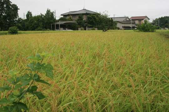 ricecrop2.jpg